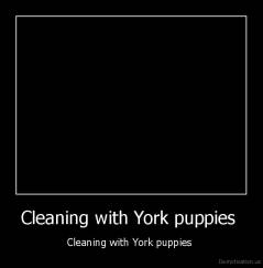 Cleaning with York puppies  - Cleaning with York puppies