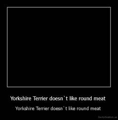 Yorkshire Terrier doesn`t like round meat  - Yorkshire Terrier doesn`t like round meat