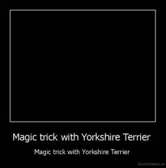 Magic trick with Yorkshire Terrier  - Magic trick with Yorkshire Terrier